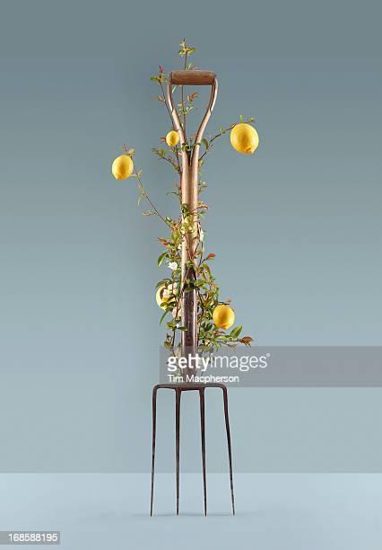 Lemon plant growing around garden fork