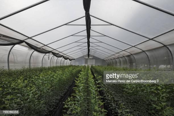 Lemon plants sit inside a nursery in Argentina