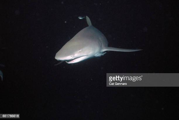 lemon shark after dark - megalodon stock photos and pictures