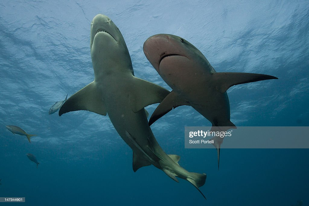 Lemon Shark and Reef Shark : Stock Photo