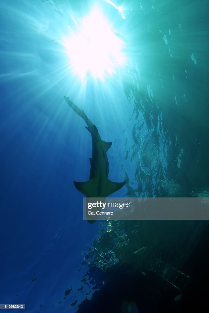 Lemon Shark From Below : Stock Photo
