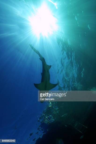 Lemon Shark From Below
