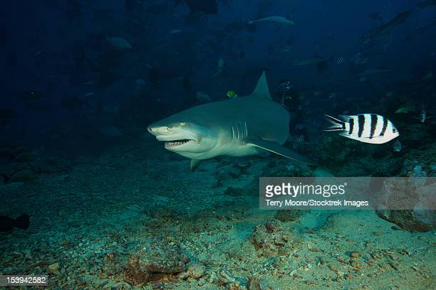 A Lemon Shark gulps down a large tuna head in front of a crowd of divers, Fiji.