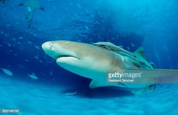 lemon shark, negaprion brevirostris, bahamas, grand bahama island, atlantic ocean - shark attack - fotografias e filmes do acervo