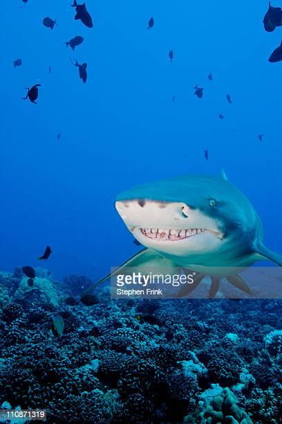 lemon shark (negaprion brevirostris) - shark attack - fotografias e filmes do acervo