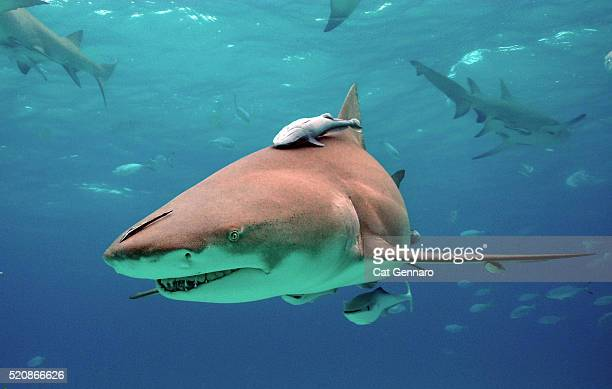 lemon shark with remora - symbiotic relationship stock pictures, royalty-free photos & images