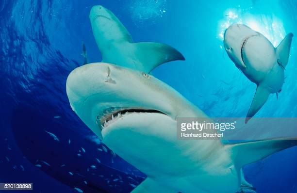 lemon sharks, negaprion brevirostris, bahamas, grand bahama island, atlantic ocean - shark attack - fotografias e filmes do acervo
