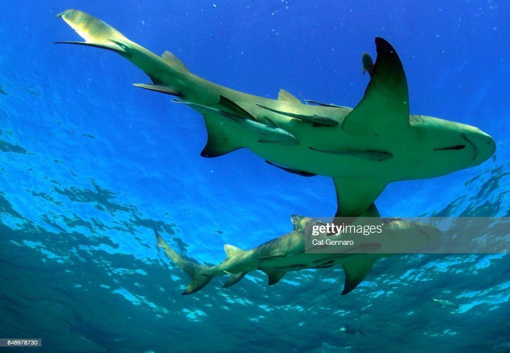 2 Lemon Sharks on Surface : Stock Photo