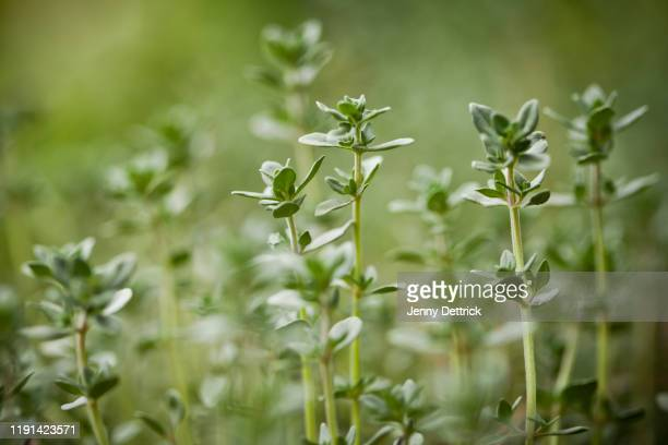 lemon thyme - thyme stock pictures, royalty-free photos & images