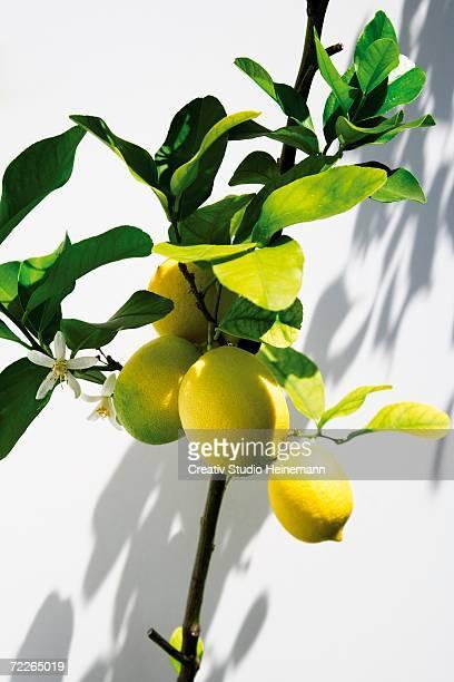Lemon tree, close-up