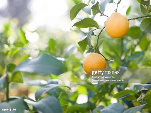 Lemon tree detail