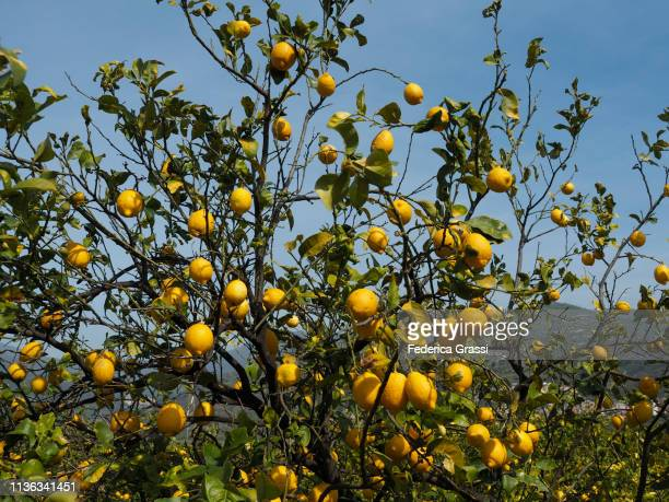 lemon tree full of fruits near taormina, sicily - orchard stock pictures, royalty-free photos & images