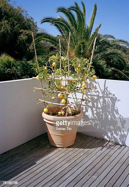 A lemon tree growing on a balcony