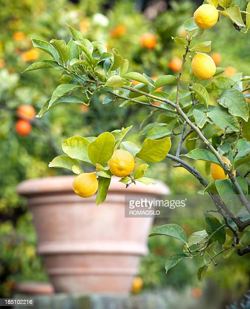 lemon tree in rome, italy - flower pot stock pictures, royalty-free photos & images