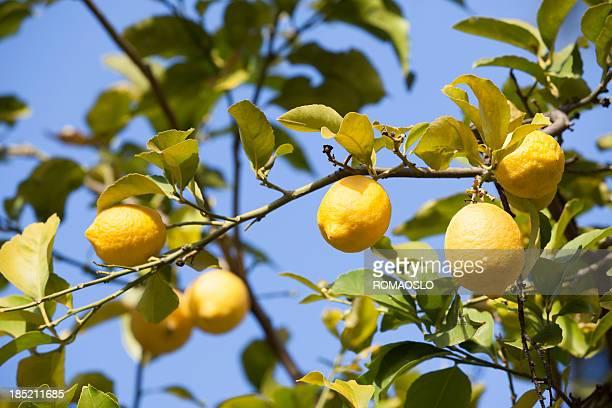 Lemon tree in Rome, Italy