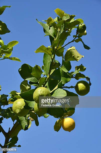 lemon tree laden with fruits - fruit laden trees stock pictures, royalty-free photos & images