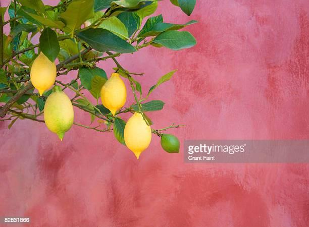 lemon tree near red wall