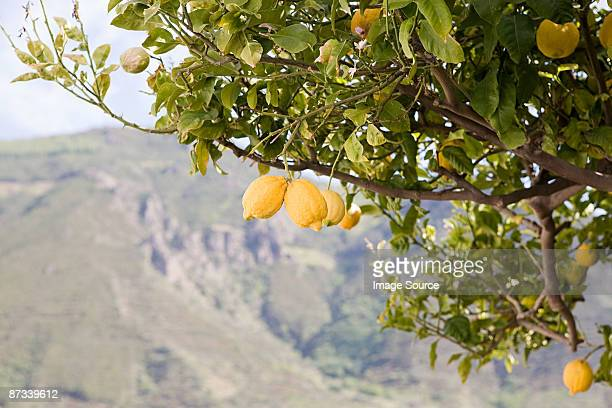 Lemon tree on island of salina