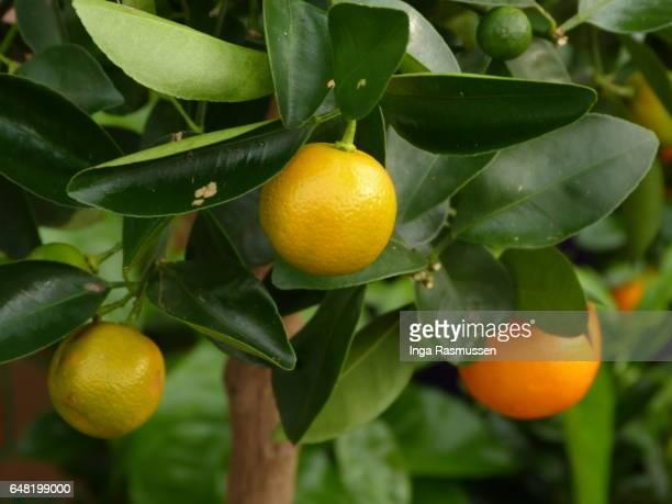 Lemon tree on sale at street market, London