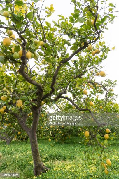 Lemon tree orchard