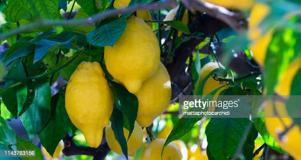 lemon tree - calabria stock pictures, royalty-free photos & images