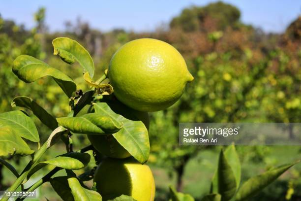lemon trees growing in an orchard - rafael ben ari fotografías e imágenes de stock