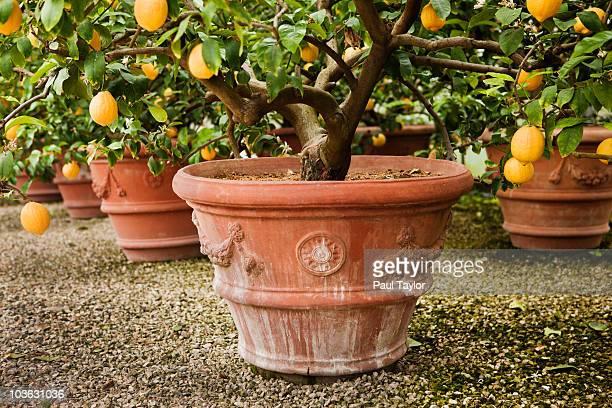 lemon trees in tuscany, italy - europa meridionale foto e immagini stock