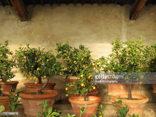 lemon trees inside rustic lemon tree greenhouse in tuscany, italy - mediterranean culture stock pictures, royalty-free photos & images