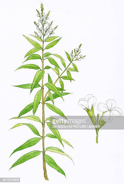 Lemon verbena or Lemon beebrush Verbenaceae drawing