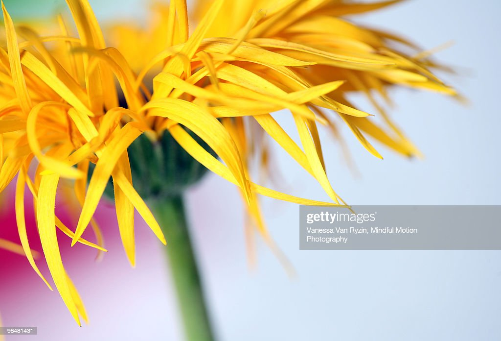 lemon yellow : Stock Photo