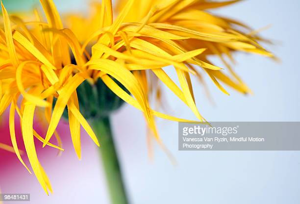 lemon yellow - vanessa van ryzin foto e immagini stock