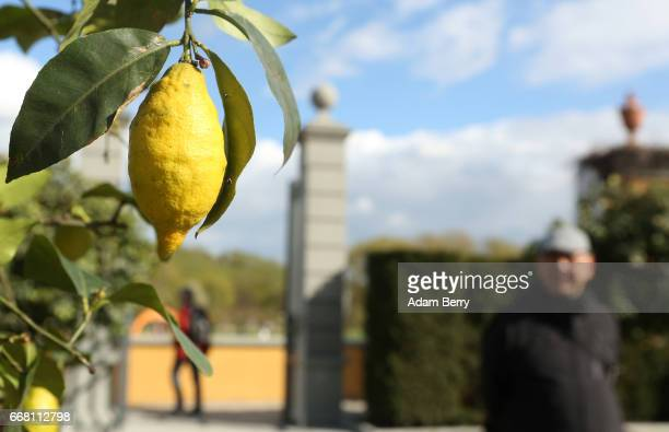 Lemons grow in a recreation of a Renaissance garden at the IGA International Garden Exhibition on April 13 2017 in Berlin Germany The showcase of...