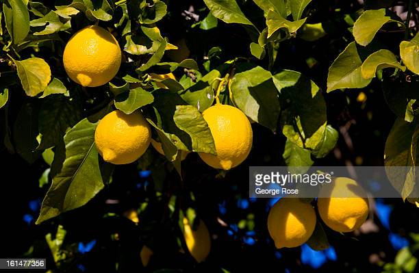 Lemons growing a tree off Mt Palomar Road in Rincon Valley are viewed on January 4 2013 near Escondido California The interior region north and east...