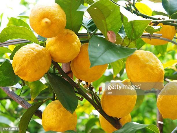 lemons growing on lemon tree - lemon leaf stock photos and pictures