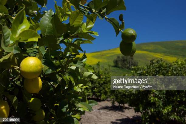 Lemons Growing On Tree In Orchard Against Grassy Field