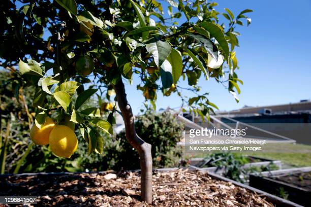 Lemons hang from a tree in the garden at the Life Learning Academy charter school on Treasure Island in San Francisco, Calif. On Tuesday, March 6,...