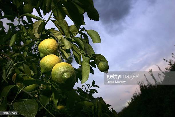 Lemons hang on a tree at sunrise after another night of cold weather on January 17 2007 near Fillmore California Because recordsetting cold...