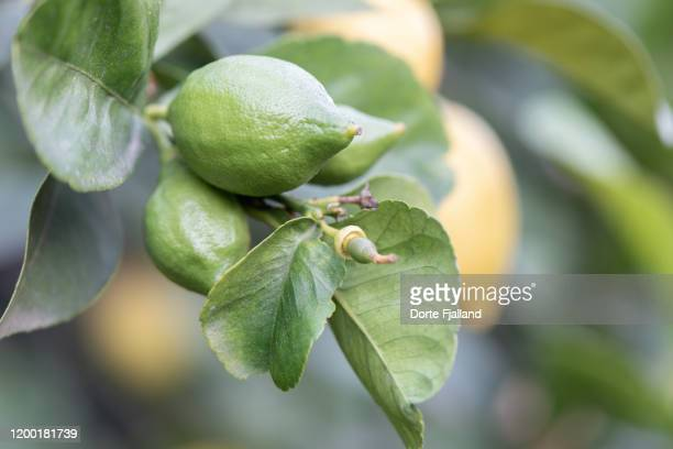 lemons in different stages of growth on a tree - dorte fjalland imagens e fotografias de stock