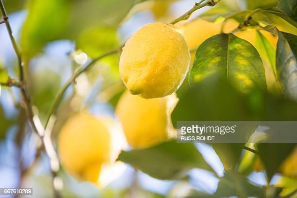 Lemons in lemon tree