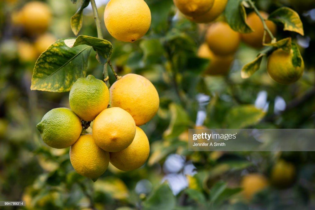 Lemons on the Tree : Stock Photo