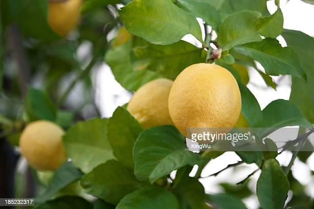 lemons - lemon leaf stock photos and pictures
