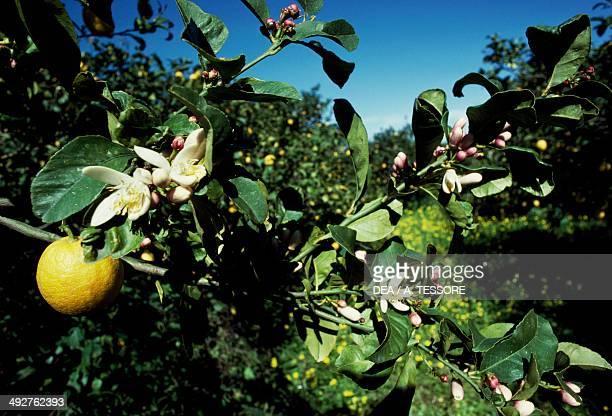 Lemons plantation spring Sicily Italy