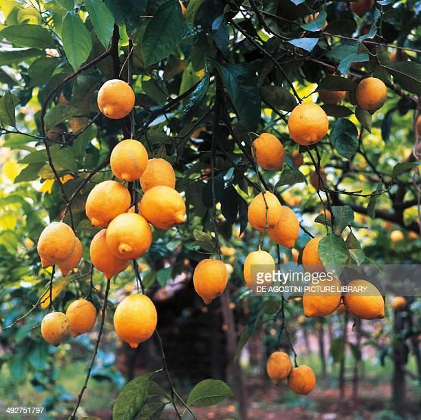 Lemons Rutaceae