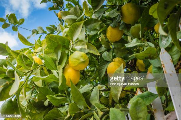 lemontree with yellow lemons - finn bjurvoll stock pictures, royalty-free photos & images