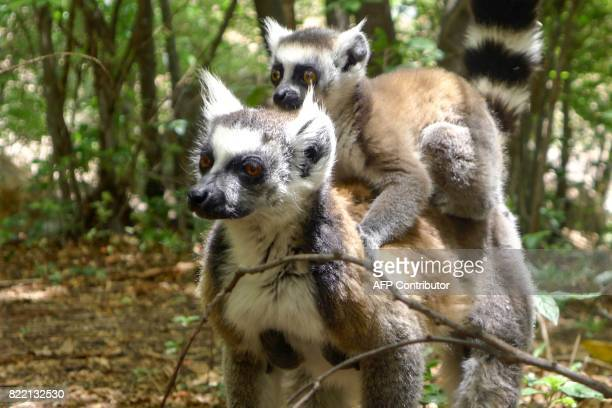 A lemur carries a baby lemur on its back at the Isalo National Park in the Ihorombe Region of Madagascar on November 5 2016 More than 150 scientists...
