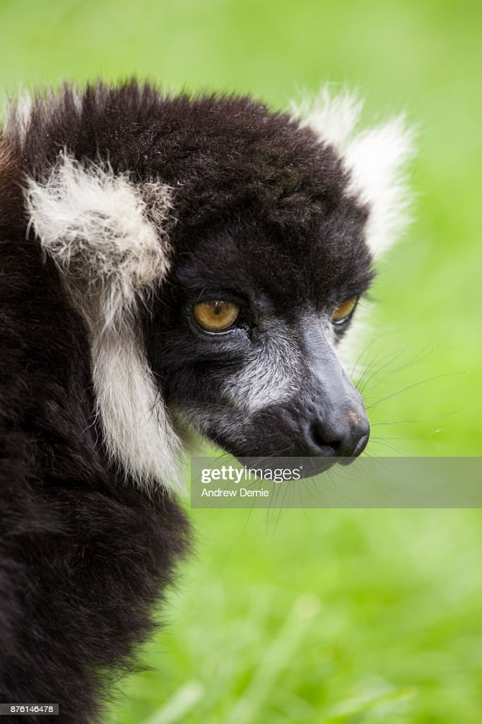 Lemur close-up : Stock Photo