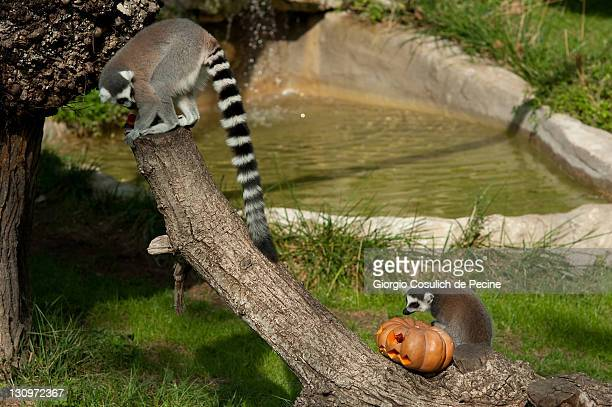 A lemur eats pumpkin at the Rome Bioparco during lunch time on October 30 2011 in Rome Italy As it is Halloween time Zoo staff are feeding the...