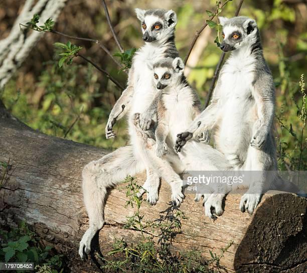 Lemur Family warming in the evening sun
