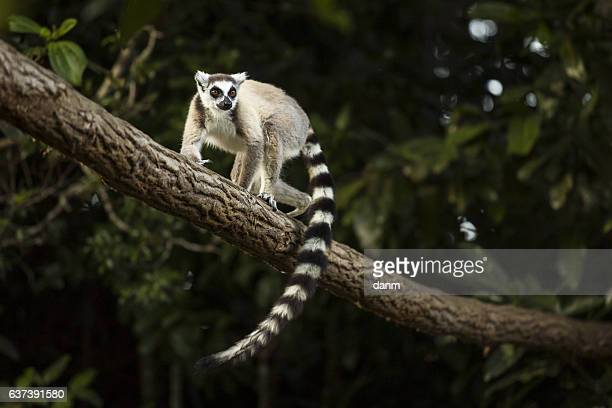 lemur in their natural habitat, madagascar. - lemur stock pictures, royalty-free photos & images