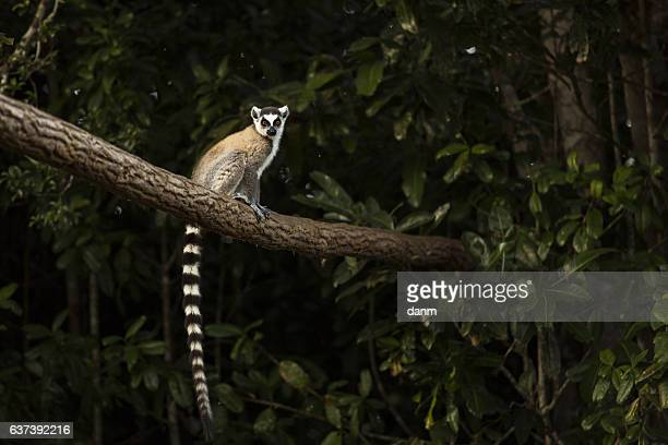 lemur in their natural habitat, madagascar. - madagascar foto e immagini stock